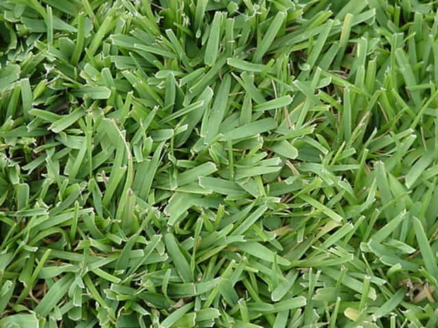 Ultimate Guide To St. Augustine Grass Seed