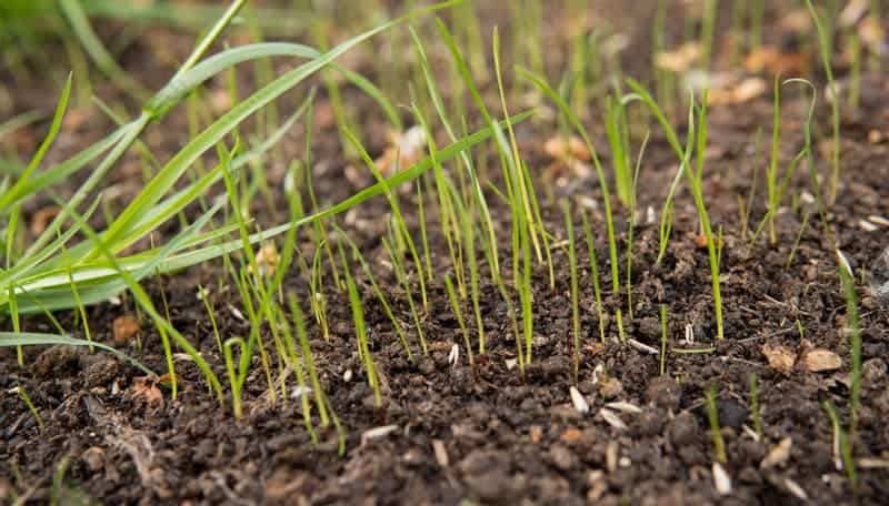 What Temperature Does Grass Seed Need to Germinate