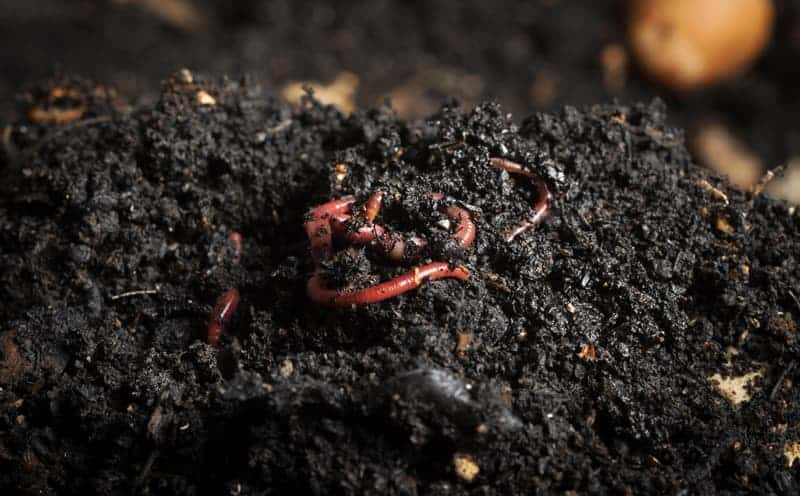 Worm Composting Beginners Guide To Vermicomposting