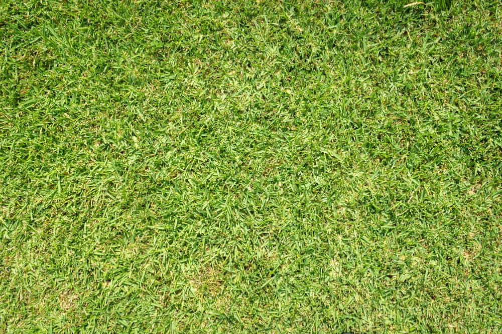 How High Should St Augustine Grass Be Cut