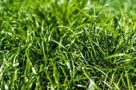 What is the Fastest Growing Grass in The World?