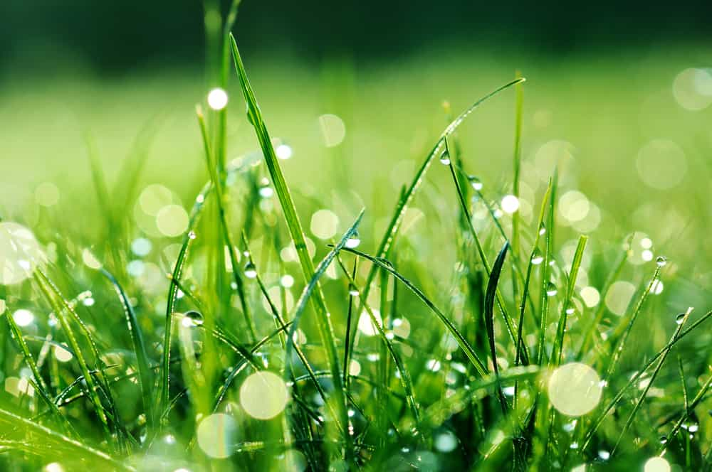 Is Dew Enough to Water Grass