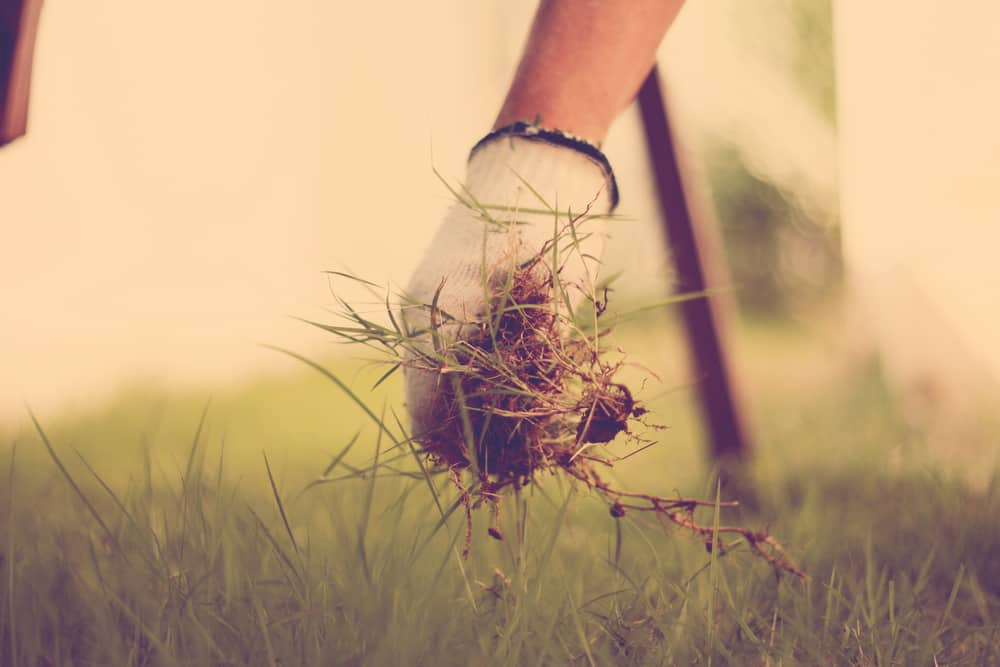 Picking Weeds From Lawn
