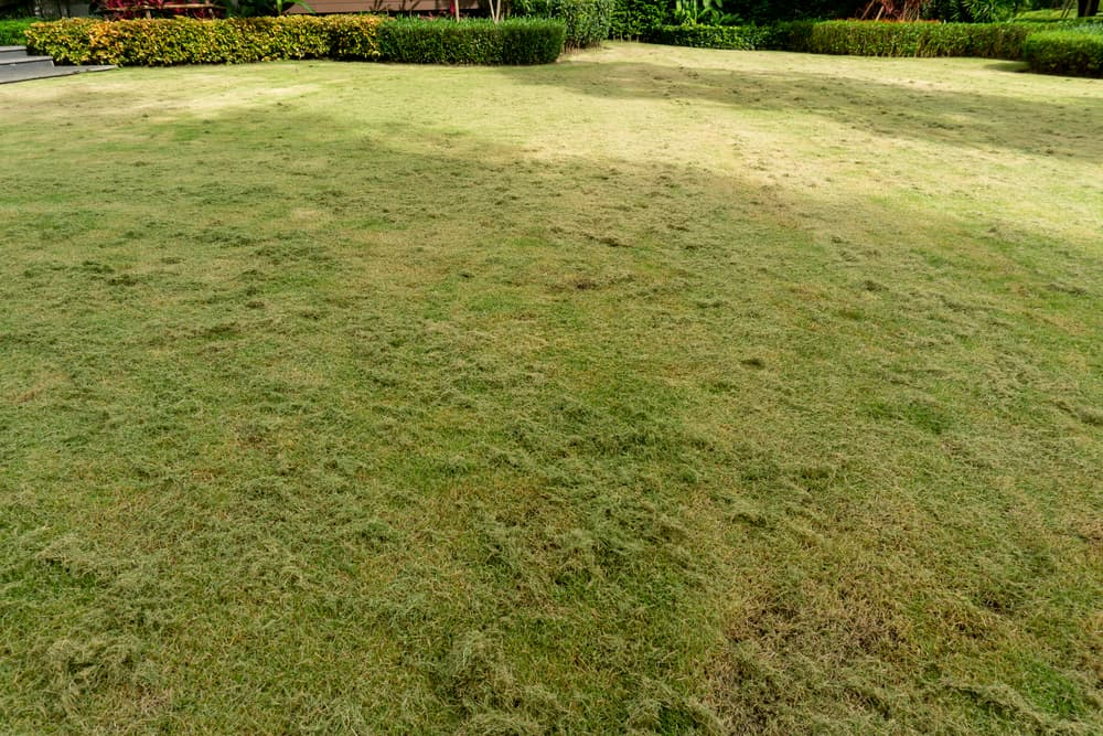 Why Is My Zoysia Grass Dying