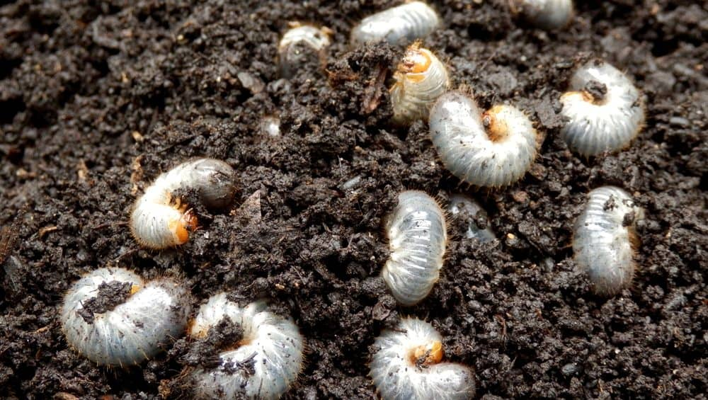How Soon After Treating For Grubs Can You Plant Grass Seed