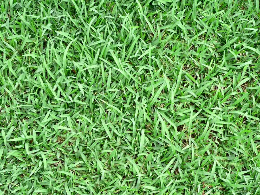Why Is My St Augustine Grass Turning Light Green