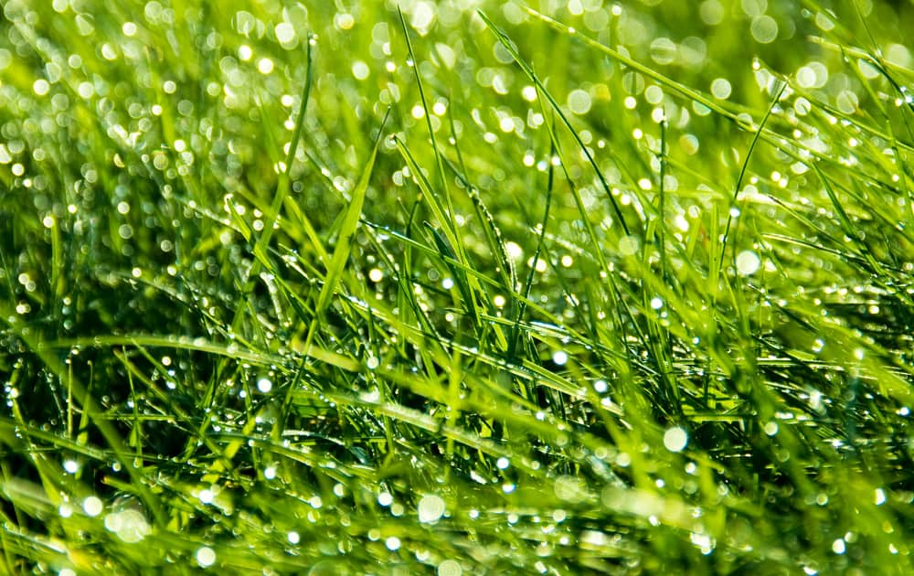 How Do You Thicken Grass In Sandy Soil