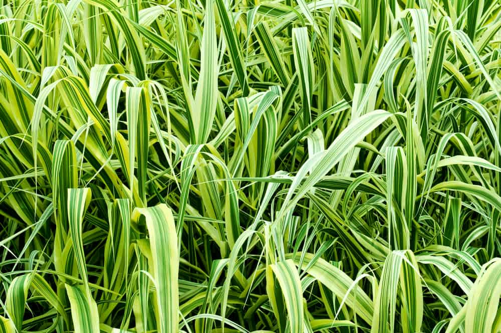 Can Ornamental Grass Be Moved