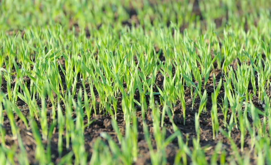Germination Times In Fescue Varieties