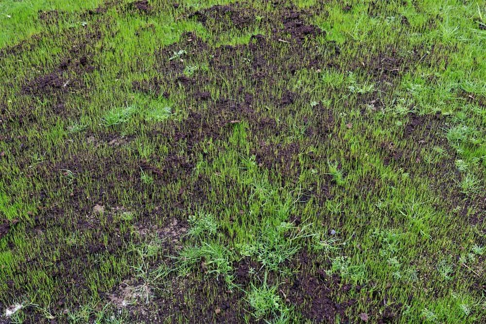 Grass Germinated
