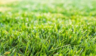 How Long Does It Take Fescue Grass Seed to Germinate?